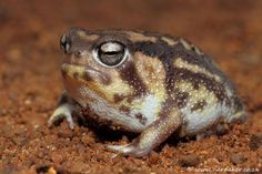 #frogOTD Breviceps namaquensis, Namaqua rain frog, one of my favorite 'desert' frogs lives in red sands @AmphibiaWeb