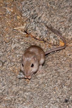 Long-Tailed Pocket Mouse | Long-tailed Pocket Mouse (Chaetodipus formosus)