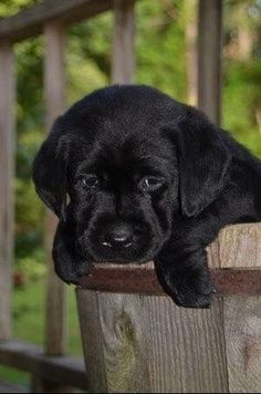 Baby Black Labrador by A Texas Girl's Favorites