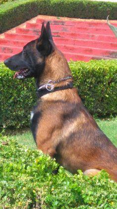 Malinois Puppies, Belgian Malinois Dog, Belgian Shepherd, German Shepherd Dogs, Pastor Belga Malinois, Belgium Malinois, Amor Animal, Large Dog Breeds, Wild Dogs