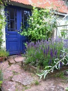 Salvia och lavendel på min innergård