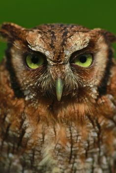 My caption: What you lookin' at? Eastern Screech Owl by alessandroabbatiello