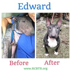 Edward's dramatic transformation from the day he was picked up from an Orlando kill shelter to right before he was adopted into his new forever home! For more info on our available bull terriers visit is at www.RCBTR.org