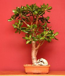 Commonly known as jade plant, Crassula ovata is a succulent plant with small pink or white flowers. It is native to South Africa, and is common as a houseplant worldwide. The jade plant lends itself easily to the bonsai form and is popular as an indoor bonsai.