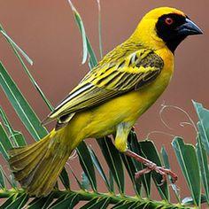 Spotted-backed Weaver, Kruger National Park Exotic Birds, Colorful Birds, Yellow Birds, All Birds, Love Birds, Pretty Birds, Beautiful Birds, Canario Da Terra, South African Birds
