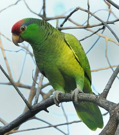 DNC_2780 RED-CROWNED PARROT by sheransd, via Flickr