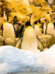 Pinguine im Loro Park, Teneriffa © Susanna Wiedermann Park, Animals, Last Minute Vacation, Teneriffe, Animales, Animaux, Parks, Animal, Animais