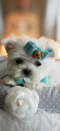 How could you sell him. Marvelous Marvin the Pocketbook Maltese is For Sale Maltese Puppies For Sale, Teacup Puppies, Maltese Dogs, Small Puppies, Cute Puppies, Cute Dogs, Animals And Pets, Baby Animals, Funny Animals