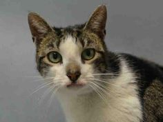 PERSIA - A0991891 - - Brooklyn Please Share: *** TO BE DESTROYED 02/10/16 *** PURR MACHINE PERSIA WANTS A HOME TONIGHT!! PERSIA is a 4 yr old, SPAYED lady with a lovely AVERAGE rating. Unfortunately, she has a rodent ulcer (which can be cleared up with steriods) and that has give the ACC a reason to list her…..This is not PERSIA's first encounter with the ACC. She was adopted from here and apparently tossed out to be found as a stray or someone returned her a