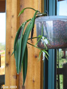 Epidendrum parkinsonianum - Orchid Forum by The Orchid Source