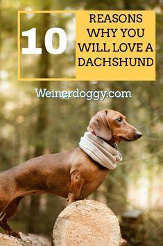 Dachshund Facts, Dachshund Tattoo, Dachshund Breed, Baby Dachshund, Long Haired Dachshund, Funny Dachshund, Standard Dachshund, Dog Breeds Pictures