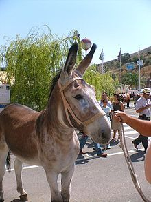 An Andalusian donkey from the province of Cordoba, Andalusian, Spain. It has spread to the Southern and Central areas of the Iberean penninsula. It is also referred to the Lucena donkey from it's town of origin.