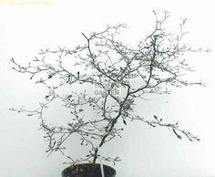 Corokia cotoneaster nicely pruned.