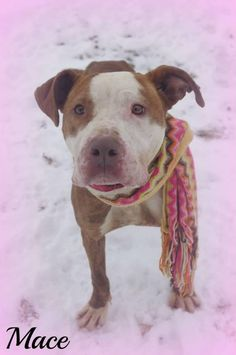 ***06/24/14 STILL LISTED ~SUPER URGENT!!! PLEASE RESCUE MACE!!!! SHELTER FULL!!!! Available on: 12/20Contact: fofmcdp@gmail.comMace is a pretty young girl, who just wants to be your one and only.All dogs are spayed/neutered before you bring them home.Pit Bull Terrier Mix • Young • Female • Medium  Mahoning County Dog Pound  Adoption Center Youngstown, OH