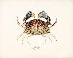 Vintage Box Crab Art Print Natural History Sea Life Print 8x10. $15.00, via Etsy.