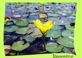 Sklep - rośliny wodne i błotne do oczka wodnego. Duży wybór, niskie ceny - Szuwarek24 - rośliny wodne i błotne