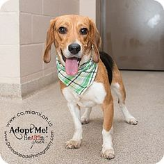 I am at a high kill shelter in Troy, OH - Beagle Mix. Meet Hank, a dog for adoption. http://www.adoptapet.com/pet/15058218-troy-ohio-beagle-mix