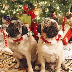 Christmas Pugs | Pugs All Around | Pinterest