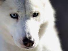 Image result for siberian husky white