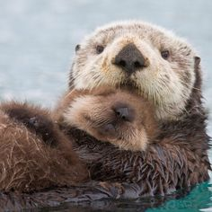 Marine otter problems predate the fur trade - Beautiful Creatures - Animals Cute Little Animals, Cute Funny Animals, Beautiful Creatures, Animals Beautiful, Animal Original, Baby Sea Otters, Otters Cute, Otters Funny, Otters