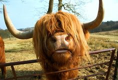 Bangs are coming back in fashion right?... a Highland cow.