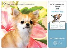 Grace Pet Store Puppies, 2013 Calendar, Puppy Mills, Fundraising, Corgi, Pets, Photography, Animals, Corgis