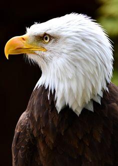 Bald Eagle 2 by Jetstream1118.deviantart.com on @deviantART