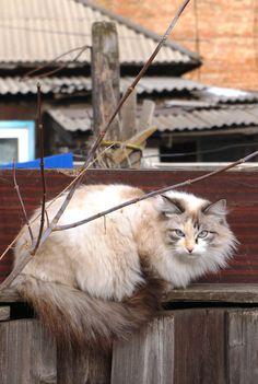 Сибирский кот. Февраль - Siberian cat by Инна Близницова