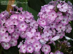 Full size picture of Garden Phlox 'Lilac Time' (<i>Phlox paniculata</i>)