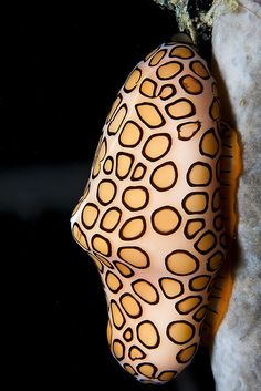 Flamingo tongue snail. So much better than cheetah or leopard...cats are too hipster.