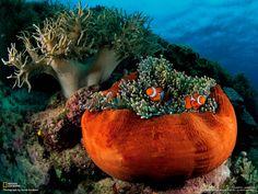 #orange #anemone with #clownfish