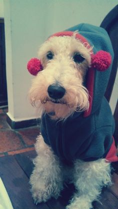 """Wire fox terrier- """"Where Did You Get That Hat """" ?"""