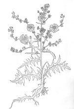 [ Blühende Wegwarte. Holzschnitt aus dem Kräuterbuch von Leonhart Fuchs (1543) (Abb. aus Körber-Grohne: Nutzpflanzen in Deutschland) ]