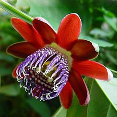 Highlights: Proper name: Passiflora alata Crimson petals and a purple and white 'perianth' Beautifully scented Produces luscious edible fruit 8 Seeds per pack