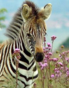 A zebra in a patch of pretty flowers!