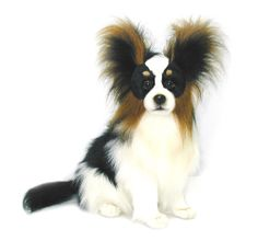 The Papillon is really a extremely intelligent and self-assured dog that has an extremely effortless time finding out new tricks.The Papillon originated within the 16th century, a common lap breed of nobles and aristocracy in Europe.
