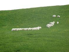 Pecore in Toscana, provincia di Siena