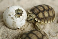 Oh hey hatching baby turtles