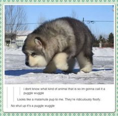 It's a puggle wuggle or a floofy malamute? I have no idea, like the sound of both, lol.<<<ITS A PUGGLE WIGGLE Funny Animal Memes, Cute Funny Animals, Dog Memes, Funny Animal Pictures, Cute Baby Animals, Funny Cute, Animals And Pets, Puppy Meme, Hilarious
