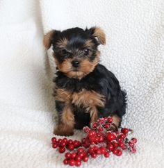 ⛄Want an early #Christmasgift🎁? Come meet this gorgeous, playful, #YorkshireTerrier puppy named Alfie. He will make a #greatplaymate and companion for the whole family👨👩👦. #Charming #PinterestPuppies #PuppiesOfPinterest #Puppy #Puppies #Pups #Pup #Funloving #Sweet #PuppyLove #Cute #Cuddly #Adorable #ForTheLoveOfADog #MansBestFriend #Animals #Dog #Pet #Pets #ChildrenFriendly #PuppyandChildren #ChildandPuppy #LancasterPuppies www.LancasterPuppies.com
