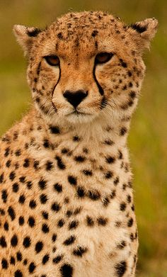 Cheetah-  Would love to go on a safari! This is my most favorite animal ever. So gorgeous
