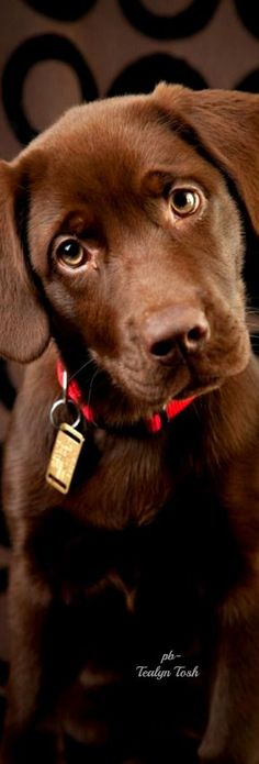 Chocolate Lab ❤️