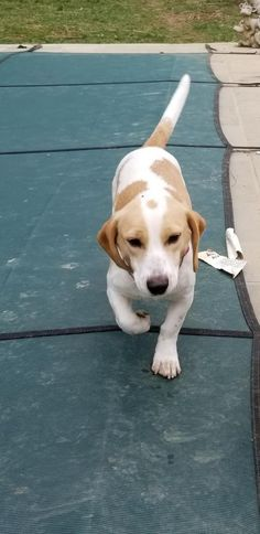Bea is an adoptable Dog - Beagle & Basset Hound Mix searching for a forever family near Washington, DC. Use Petfinder to find adoptable pets in your area.