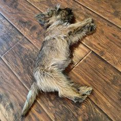 1211 Best ALL CAIRNS ALL THE TIME images in 2016 | Cairn terrier