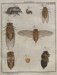 Locusta V.2 | bibliodyssey.blogspot.com/2009/12/bugs-life.ht… | Paul K | Flickr