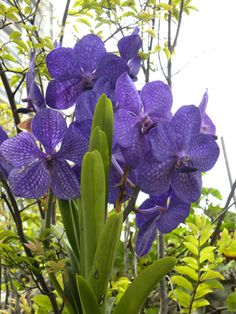 Orquídea vanda.
