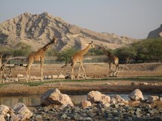 Giraffes at Al Ain Zoo in Abu Dhabi