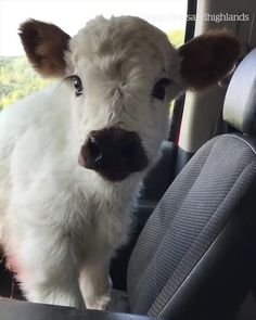 Baby cow is adorable – Perylex - Baby Animals Cute Baby Cow, Baby Cows, Cute Cows, Baby Baby, Baby Farm Animals, Cow Pictures, Baby Animals Pictures, Cute Animal Photos, Fluffy Cows