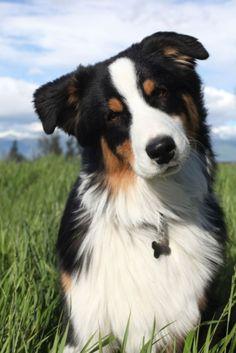 Download Australia Chubby Adorable Dog - b393c6c20fb4e2844490fdda6f523df6  Graphic_469497  .jpg