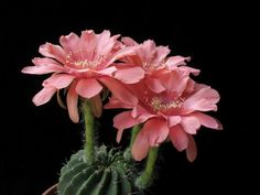 Echinopsis obrepanda v calorubra